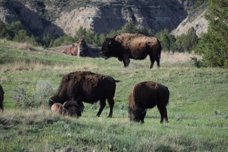 Buffalo Herd by dksecord on Pixabay