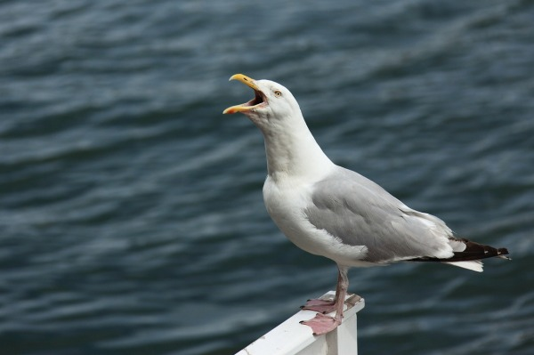 Loud Seagull by PublicDomainPictures on Pixabay