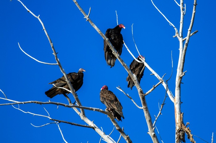 Vultures in a Tree by kasabubu on Pixabay